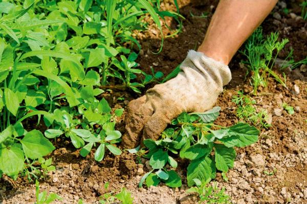 борьба с сорными растениями